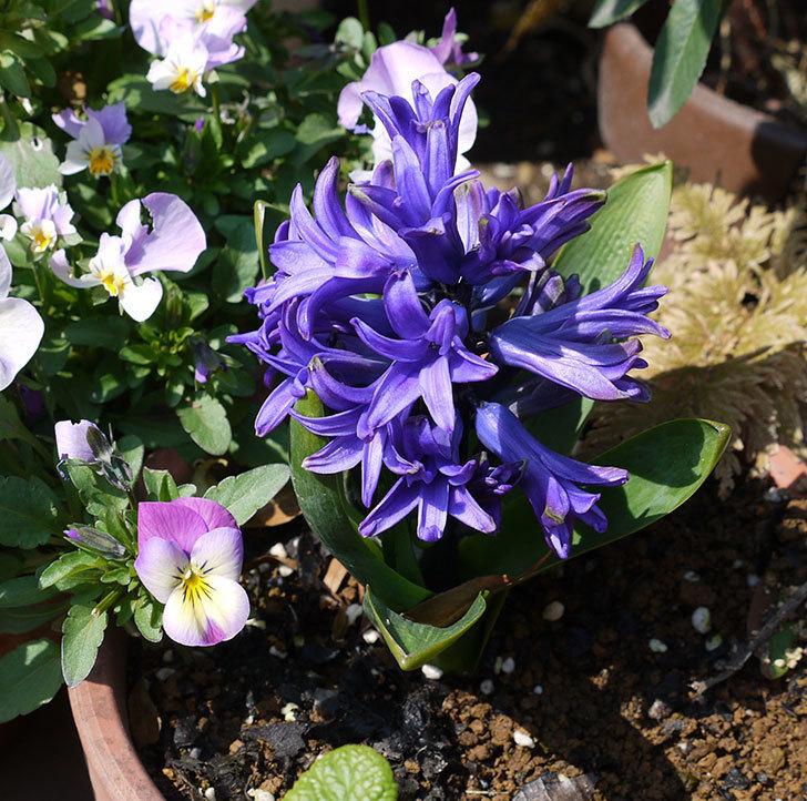 去年買った紫のヒヤシンスが咲いた。2017年-1.jpg