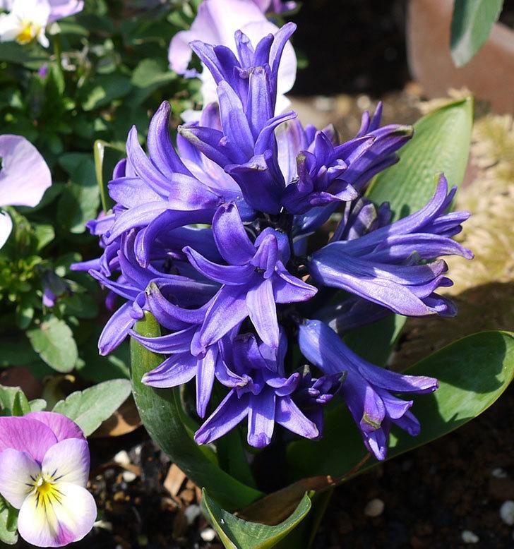 去年買った紫のヒヤシンスが咲いた。2017年-2.jpg