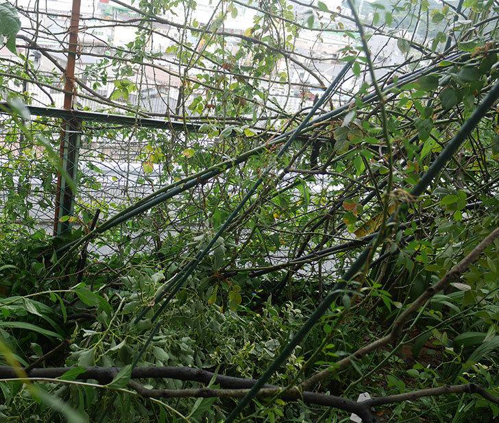 台風15号でバラのアーチが折れて倒壊した。2019年-1.jpg