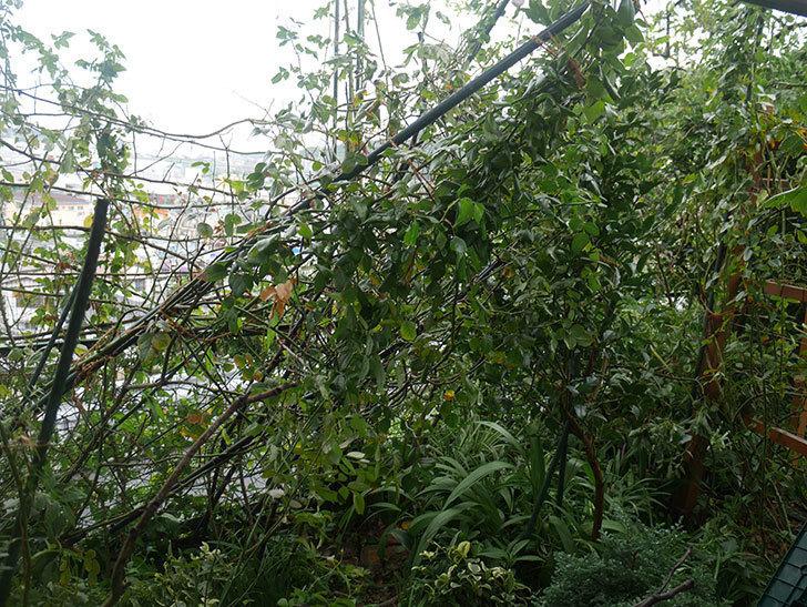 台風15号でバラのアーチが折れて倒壊した。2019年-3.jpg