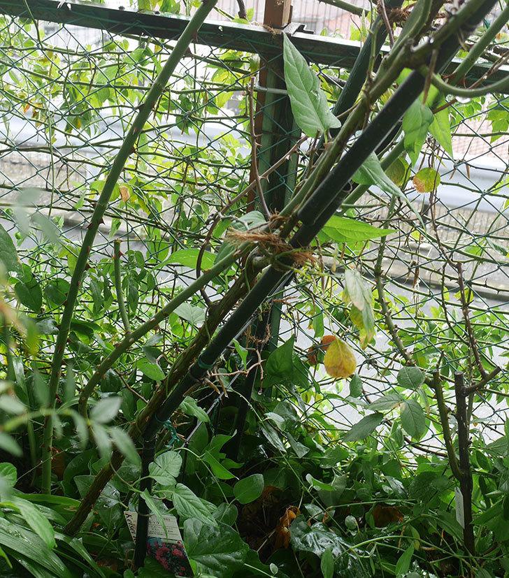 台風15号でバラのアーチが折れて倒壊した。2019年-5.jpg
