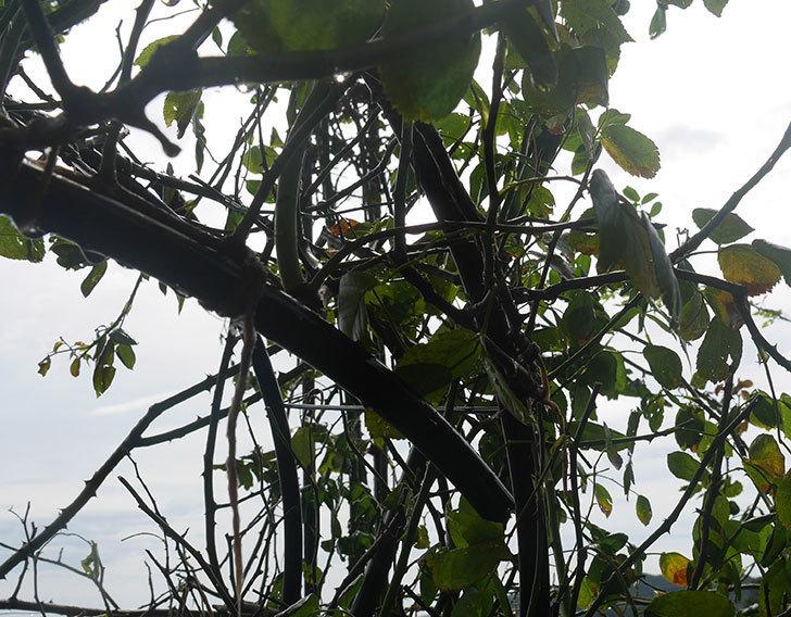 台風15号でバラのアーチが折れて倒壊した。2019年-8.jpg