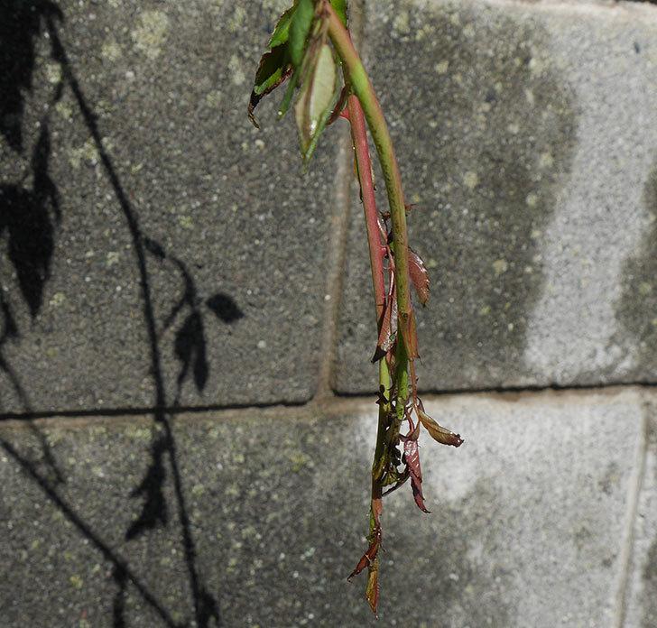 台風24号の塩害と強風でバラの新枝がボロボロになってしまった。2018年-2.jpg