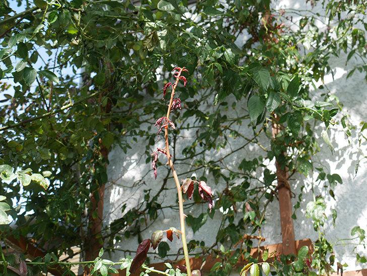 台風24号の塩害と強風でバラの新枝がボロボロになってしまった。2018年-7.jpg