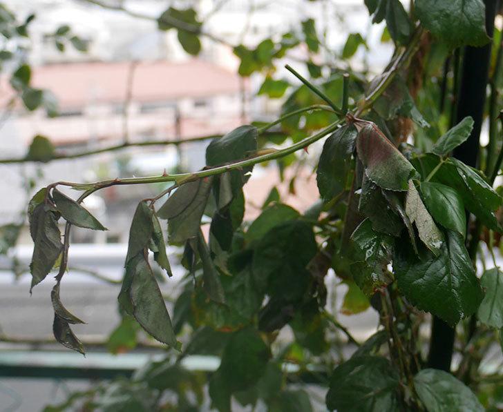 台風の風と塩害でツルバラのシュートがボロボロになってしまった。2017年-12.jpg