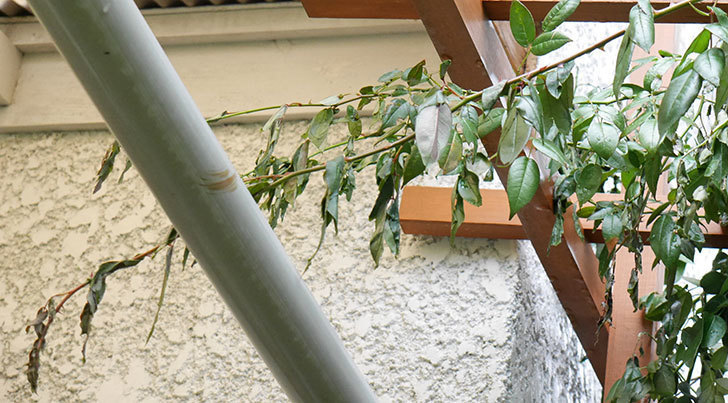 台風の風と塩害でツルバラのシュートがボロボロになってしまった。2017年-7.jpg