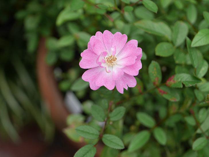 咲耶姫(Sakuyahime)の2番花が咲いた。ミニバラ。2020年-003.jpg