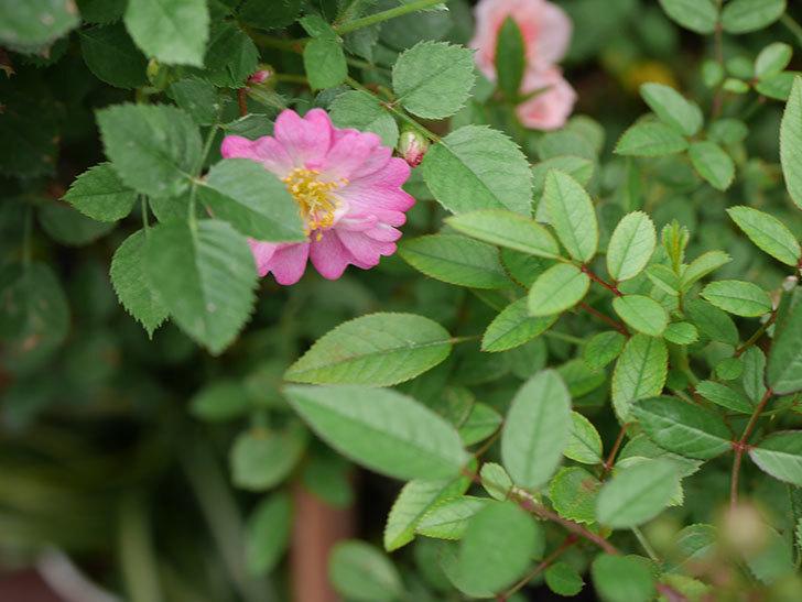 咲耶姫(Sakuyahime)の2番花が咲いた。ミニバラ。2020年-004.jpg