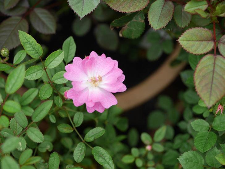 咲耶姫(Sakuyahime)の2番花が咲いた。ミニバラ。2020年-005.jpg