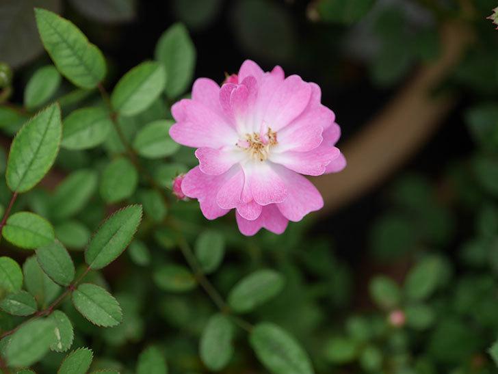 咲耶姫(Sakuyahime)の2番花が咲いた。ミニバラ。2020年-007.jpg