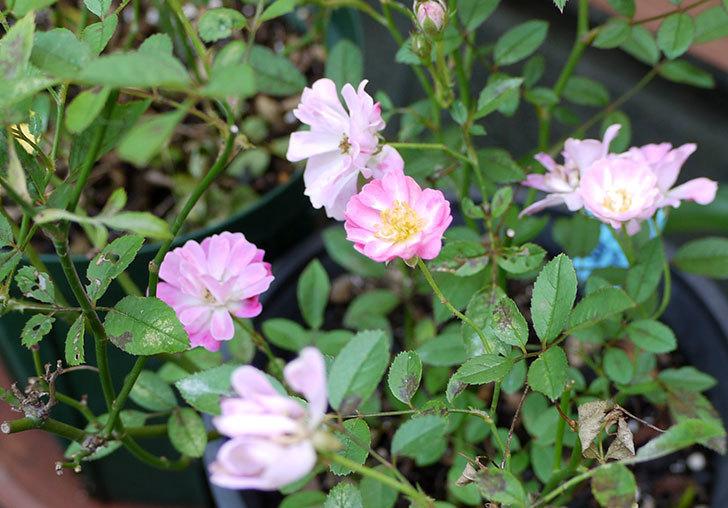 咲耶姫(バラ)が咲いた。2015年-1.jpg