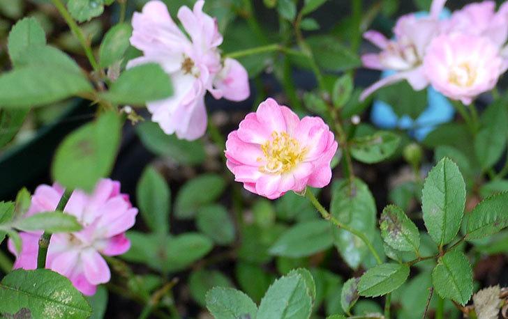 咲耶姫(バラ)が咲いた。2015年-3.jpg