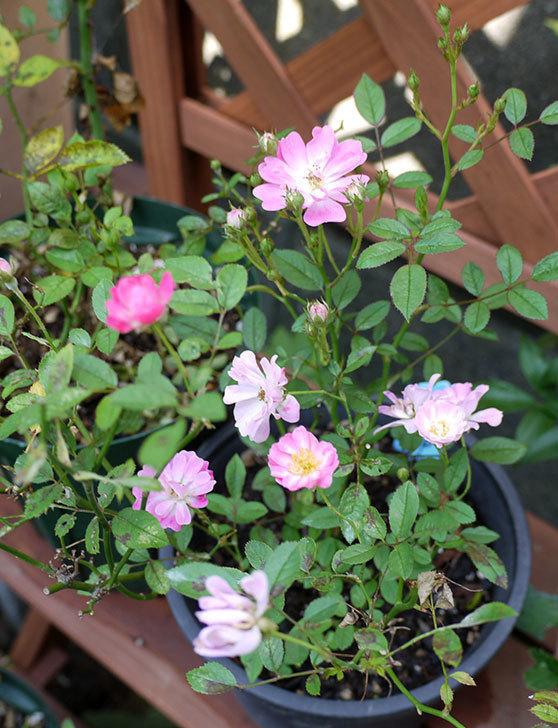 咲耶姫(バラ)が咲いた。2015年-4.jpg
