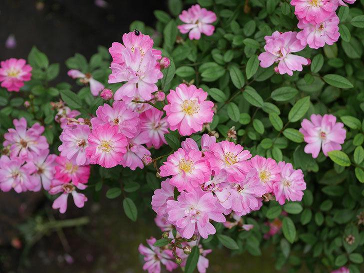 咲耶姫(ミニバラ)の2番花がたくさん咲いた。2019年-1.jpg
