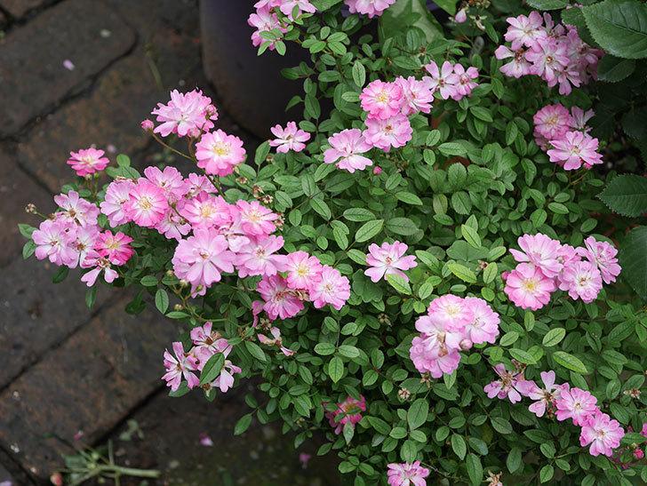 咲耶姫(ミニバラ)の2番花がたくさん咲いた。2019年-2.jpg