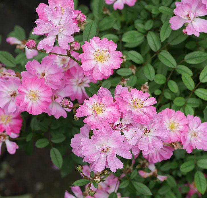 咲耶姫(ミニバラ)の2番花がたくさん咲いた。2019年-3.jpg
