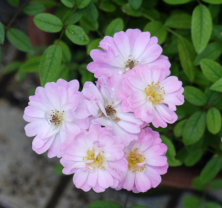 咲耶姫(ミニバラ)の2番花が咲いた。2017年-2.jpg