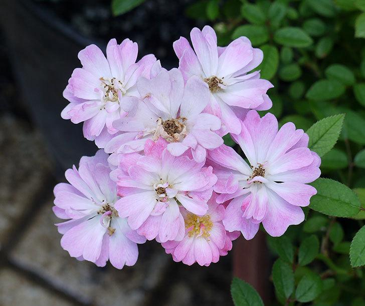 咲耶姫(ミニバラ)の2番花が咲いた。2017年-3.jpg