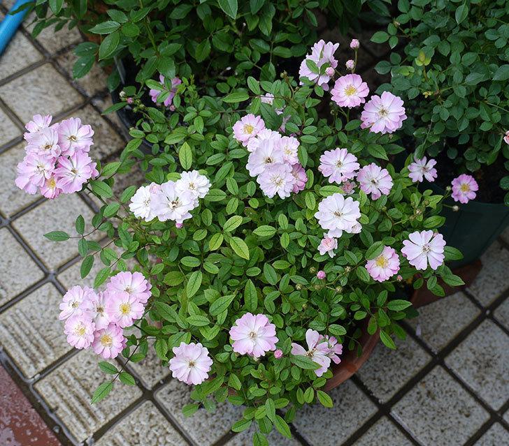咲耶姫(ミニバラ)の2番花が咲いた。2017年-4.jpg
