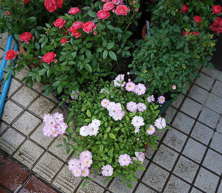 咲耶姫(ミニバラ)の2番花が咲いた。2017年-5.jpg