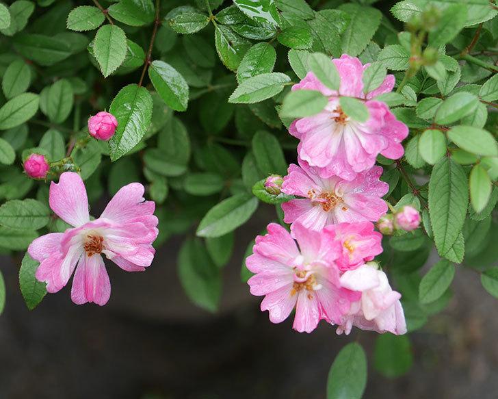 咲耶姫(ミニバラ)の2番花が咲いた。2019年-1.jpg