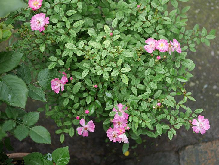 咲耶姫(ミニバラ)の2番花が咲いた。2019年-2.jpg