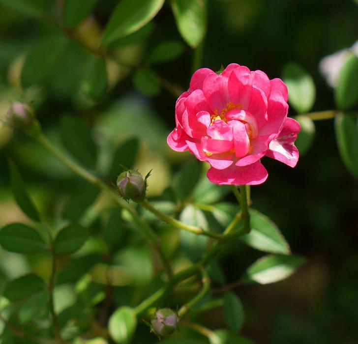 咲耶姫(ミニバラ)の秋花が咲いた。2016年-1.jpg
