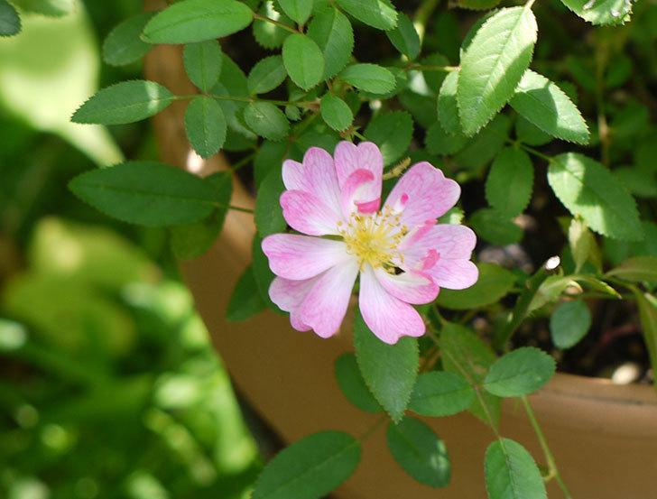 咲耶姫(ミニバラ)の花が1個咲いた。2016年-1.jpg