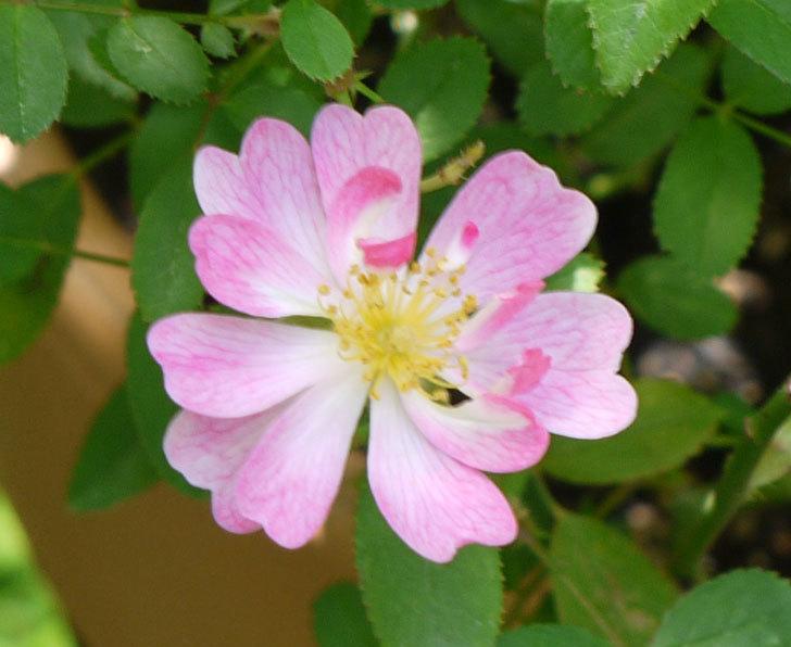 咲耶姫(ミニバラ)の花が1個咲いた。2016年-2.jpg