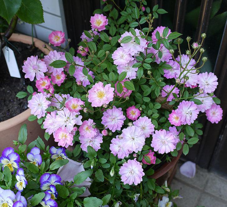 咲耶姫(ミニバラ)の花がたくさん咲いた。2017年-1.jpg