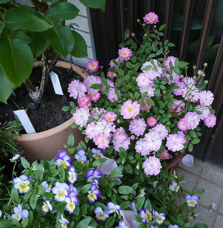 咲耶姫(ミニバラ)の花がたくさん咲いた。2017年-3.jpg