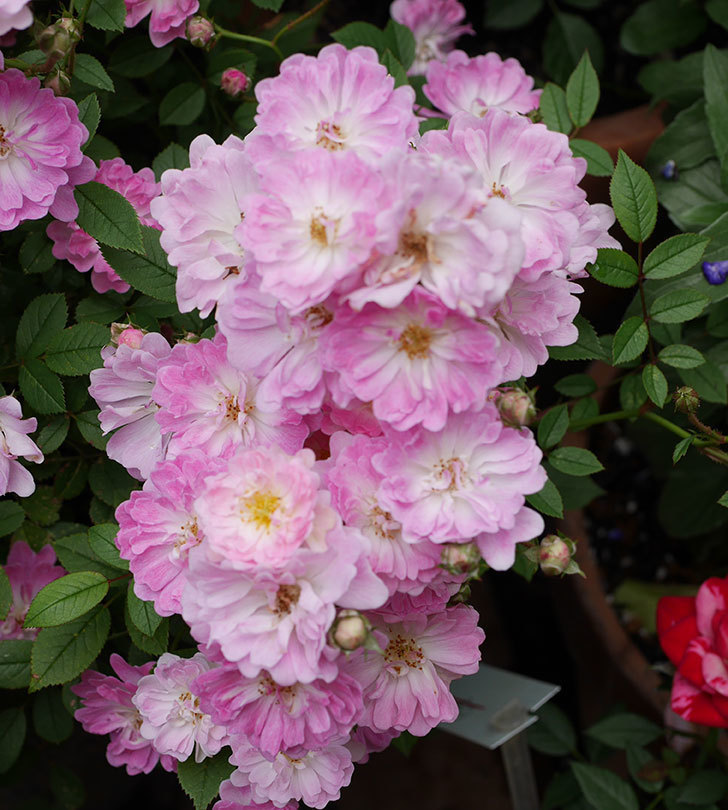 咲耶姫(ミニバラ)の花がたくさん咲いた。2019年-3.jpg
