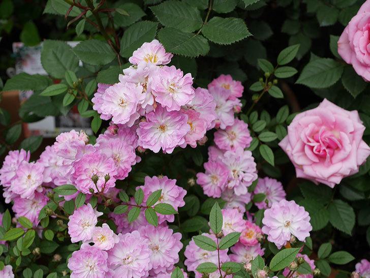 咲耶姫(ミニバラ)の花がたくさん咲いた。2019年-4.jpg