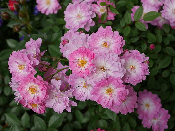 咲耶姫(ミニバラ)の花が一気に咲いた。。2018年-1.jpg