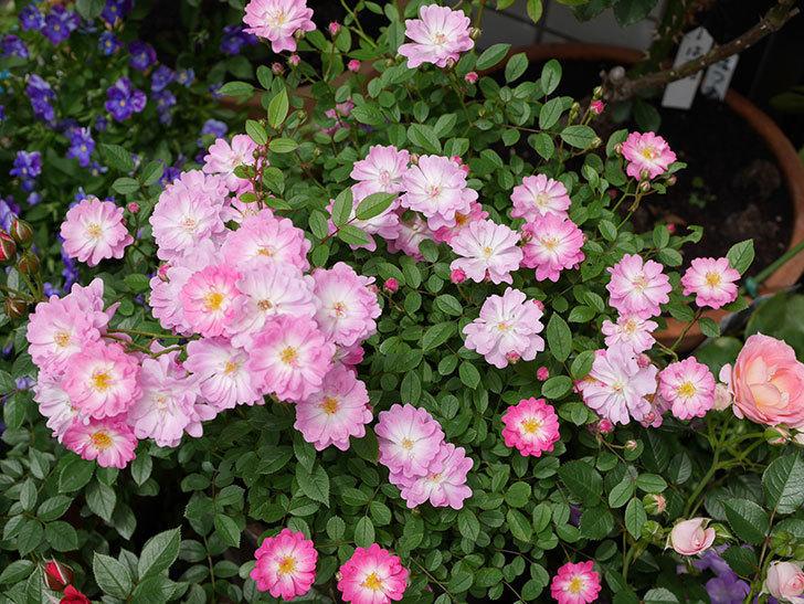 咲耶姫(ミニバラ)の花が一気に咲いた。。2018年-2.jpg