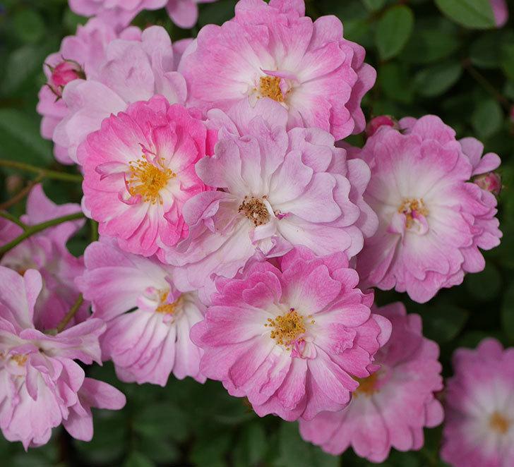 咲耶姫(ミニバラ)の花が一気に咲いた。。2018年-3.jpg