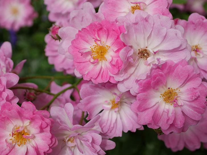 咲耶姫(ミニバラ)の花が一気に咲いた。。2018年-4.jpg