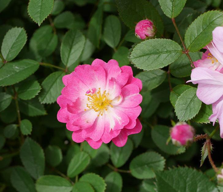 咲耶姫(ミニバラ)の花が一気に咲いた。。2018年-5.jpg