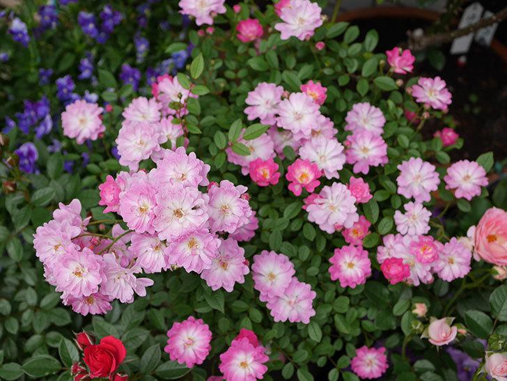 咲耶姫(ミニバラ)の花が一気に咲いた。。2018年-8.jpg