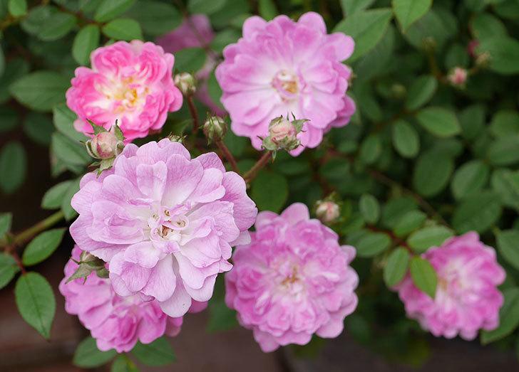 咲耶姫(ミニバラ)の花が咲いた。2019年-4.jpg