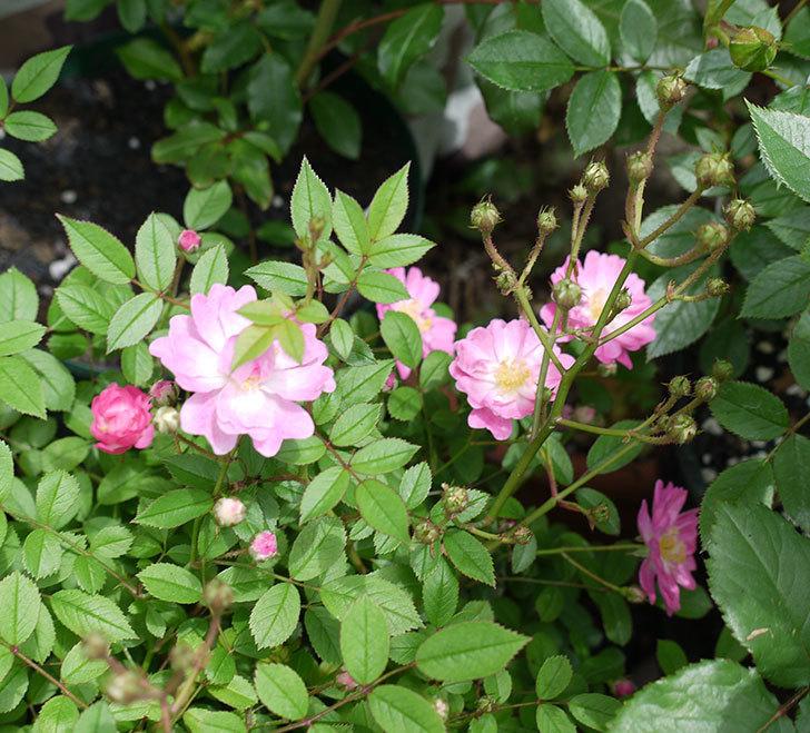 咲耶姫(ミニバラ)の花が咲きだした。2017年-4.jpg