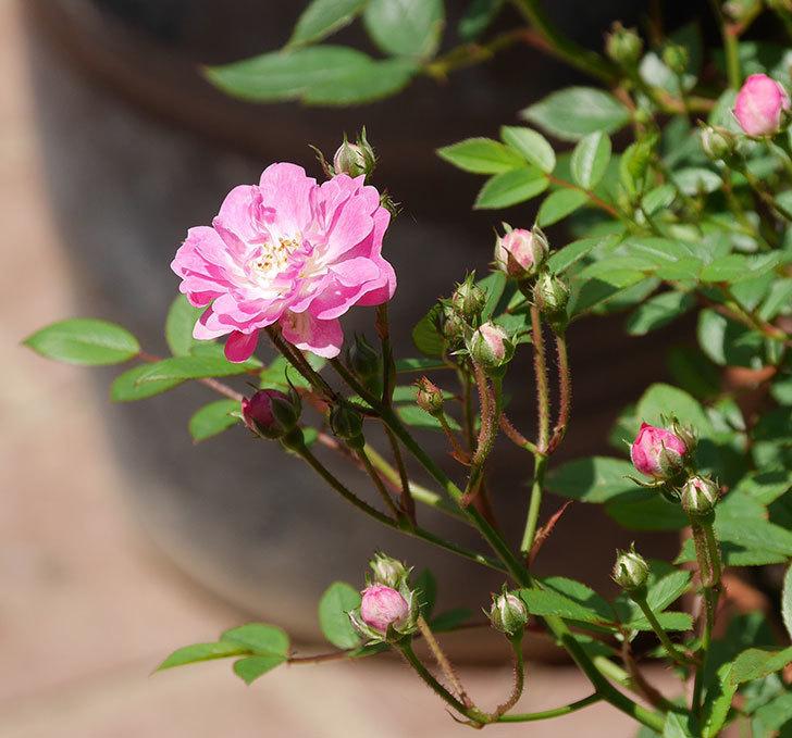 咲耶姫(ミニバラ)の花が咲きだした。2019年-1.jpg