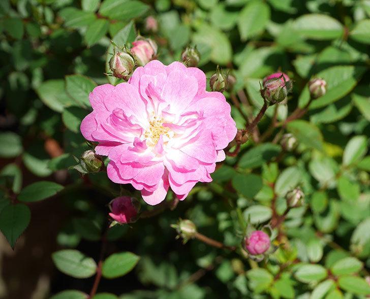 咲耶姫(ミニバラ)の花が咲きだした。2019年-3.jpg