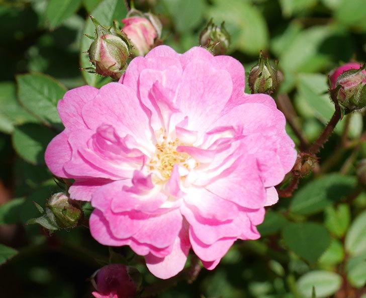 咲耶姫(ミニバラ)の花が咲きだした。2019年-4.jpg