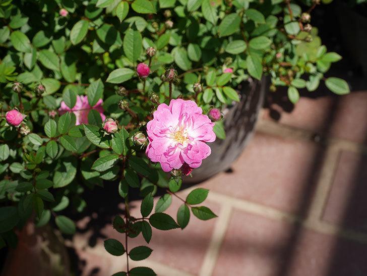 咲耶姫(ミニバラ)の花が咲きだした。2019年-5.jpg