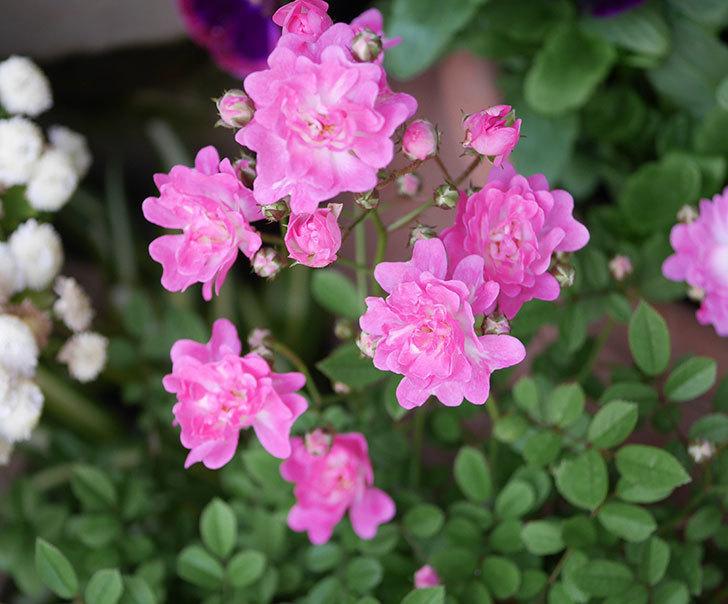 咲耶姫(ミニバラ)の花が増えてきた。2020年-2.jpg