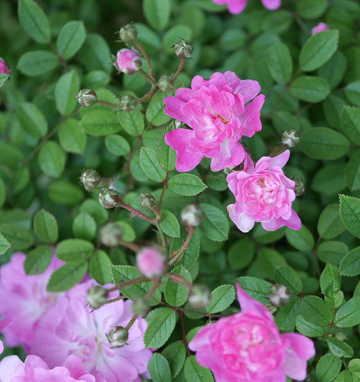 咲耶姫(ミニバラ)の花が増えてきた。2020年-4.jpg