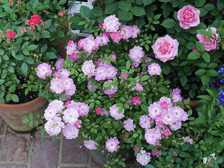 咲耶姫(ミニバラ)の花が増えて来た。2019年-1.jpg