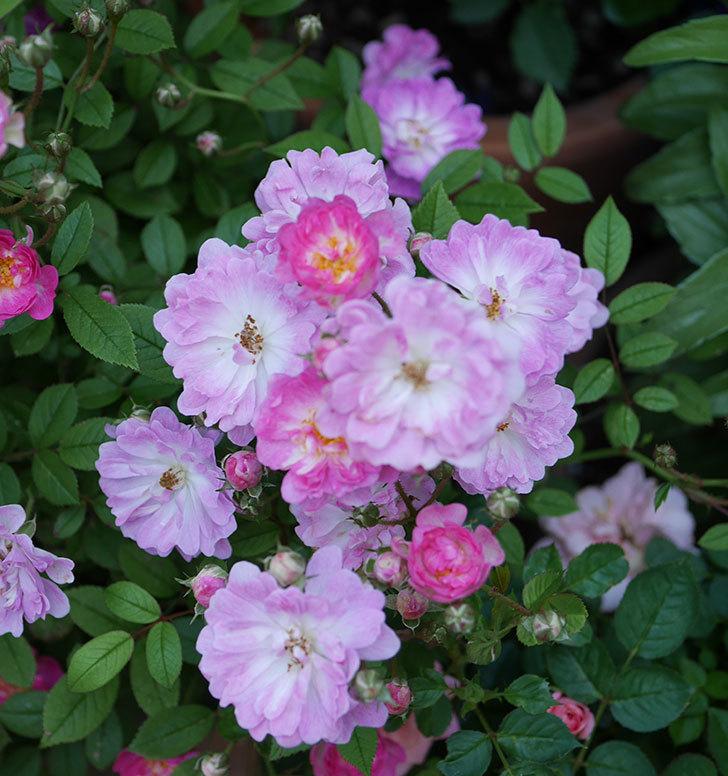 咲耶姫(ミニバラ)の花が増えて来た。2019年-4.jpg