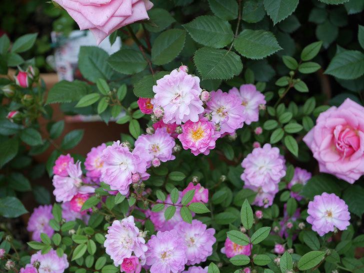 咲耶姫(ミニバラ)の花が増えて来た。2019年-5.jpg